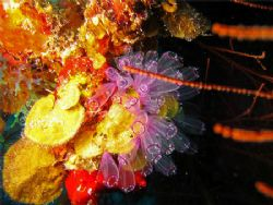 Lightbulb Tunicates. Canon SD550. by Paul Holota 
